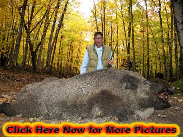 Giant Boar Shot During the Autumn Rut